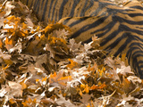 Tiger  Panthera Tigris Species  Lying in Fallen Leaves