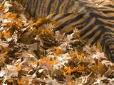 Tiger  Panthera Tigris Species  Lying in Fallen Leaves