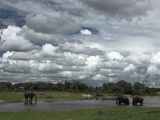 African Elephants  Loxodonta Africana  at a Watering Hole