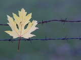 Maple Leaf Caught on a Barbed Wire Fence