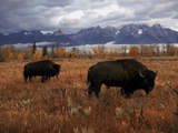 Buffalo Grazing in Grand Teton National Park