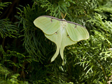 A Luna Moth Perched on a Fir Tree