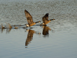 Canada Geese Take Off and Reflections in Rippled Water