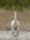A Whooping Crane Female Wading in the Water
