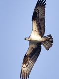 An Adult Osprey  Pandion Haliaetus  in Flight