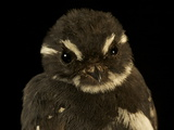 A Friendly Fantail Bird from New Guinea's Foja Mountains