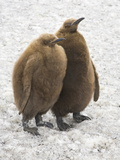 King Penguin  Aptenodytes Patagonicus  Chicks Standing in Spring Snow