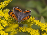 An American Copper Butterfly  Lycaena Phlaeas  on Goldenrod
