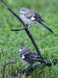 A Pair of Northern Mockingbirds Along the Occoquan River