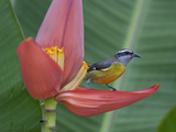 A Bananaquit Bird  Coereba Flaveola  Perched on a Banana Flower