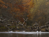 Canada Geese Take Flight  Branta Canadensis  from the Assabet River