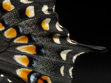 A Black Swallowtail Butterfly  Papilio Polyxenes