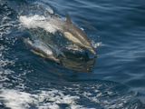Dolphins Leaping from the Water as They Swims