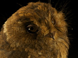 A Mountain Owlet Nightjar from New Guinea's Foja Mountains