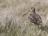 Portrait of a Magellanic Snipe  Gallinago Paraguaiae  in Tall Grass