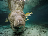 Small Fish Eating Algae Growing on a Florida Manatee