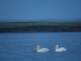 A Breeding Pair of American White Pelicans on Medicine Lake