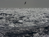 Silhouetted Cape Petrel  Daption Capense  Flying Low Above Waves