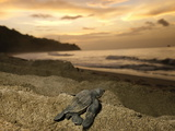A Leatherback Turtle Hatchling Crawls Toward the Sea