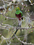 Resplendent Quetzal  Pharomachrus Mocinno  in a Tree