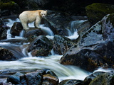 A Kermode Bear  a Black Bear Born with White Fur  Perches on a Rock