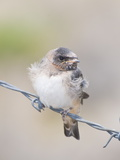 A Cliff Swallow  Hirundo Pyrrhonota  Fledgling Sitting on Barbed Wire