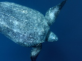 A Female Leatherback Turtle Begins a Dive in Warm Shallows