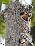 A Northern Flicker Emerges from its Nest in a Dead Tree