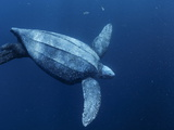 A Female Leatherback Turtle Dives Near Indonesia's Kai Islands