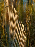 Sand Fence Among Sea Oats on a Beach Dune