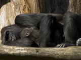 Endangered Western Lowland Gorilla Family  Gorilla Gorilla Gorilla