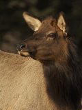 Portrait of an Elk  Cervus Canadensis