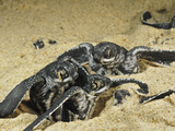 Leatherback Turtle Hatchlings Emerge from their Nest in the Sand