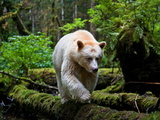 A Young  Male Kermode Bear Makes a Trip into the Open to Fish