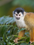 A Central American Squirrel Monkey Sitting in a Tree