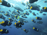 A School of King Angelfish  Holocanthus Passer