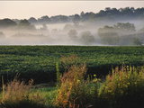 Mist Hangs over a Field of Soybeans Along Historic Maple Grove Road