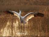 Whooping Crane Defense Posture in Breeding Territory