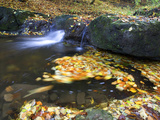 Small Waterfall and European or Common Beech Leaves Swirling in Pond