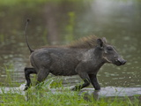 Warthog  Phacochoerus Africanus  Trotting Through Water