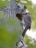 A Northern Flicker by its Nest in a Dead Tree on the Occoquan River