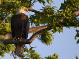 A Bald Eagle  Haliaeetus Leucocephalus  in a Tree at Sunrise