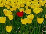 A Single Red Tulip in a Bed of Yellow Tulips