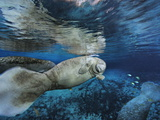 Florida Manatees  Trichechus Manatus Latirostris  in Clear Water