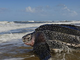 A Female Leatherback Turtle Crawls Back to Sea after Nesting