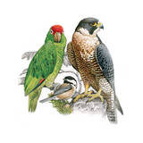 Painting of a Falcon  Chickadee and Parrot Which are Closely Related