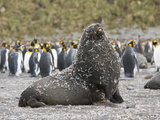 Southern Fur Seal Bull with Molted Penguin Feathers Stuck to it's Fur