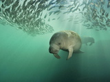 Florida Manatees Swimming Near a School of Mangrove Snapper Fish