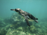 Underwater View of Galapagos Penguin  Spheniscus Mendiculus  Swimming