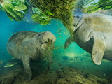 Captive Rehabilitated Florida Manatees Eating Lettuce and Greens